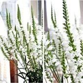 физостегия виргинская белая хороший куст
