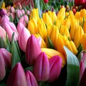 цветы птом на 8 марта тюльпан  ирис