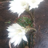 Кактус 28*11см. Комнатное растение. Комнатный цветок