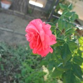 Троянда плетиата