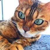 Бенгальский кот вязка.Киев- Подольский