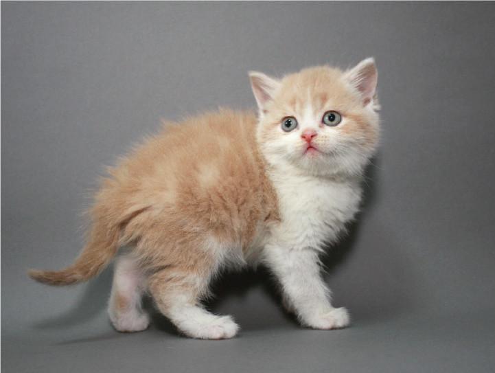 Шотландский котик (котенок) страйт (прямоухий) фото №1
