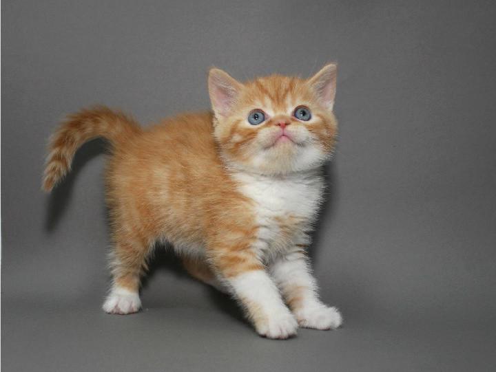 Котенок скоттиш страйт (шотландский короткошерстный прямоухий) фото №1