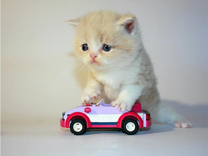 Шотландские котята. Прямоухие и Вислоухие . фото №1