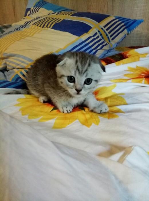 шотландские котята фото №1
