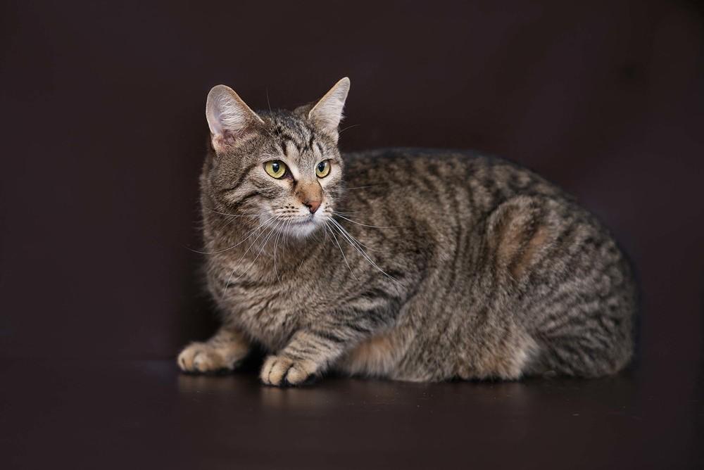Отдам в хорошие руки эксклюзивного кота баюна фото №1
