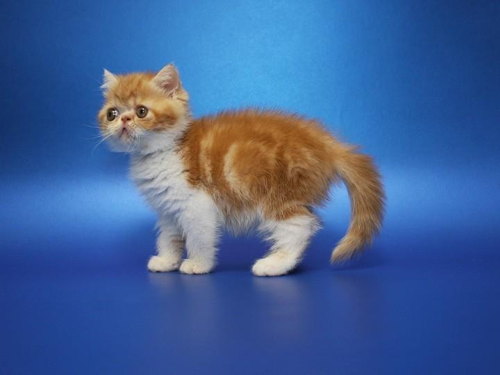 Предлагаем экзотического котёнка. мальчик чистокровный, породистый фото №1