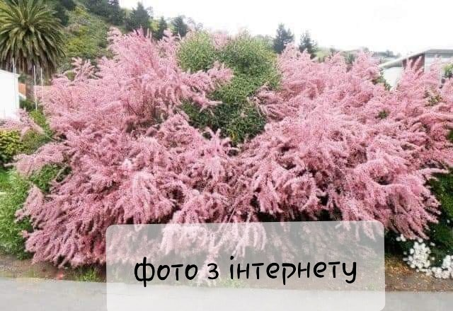 Садженці тамарикса з закритою кореневою системою фото №1